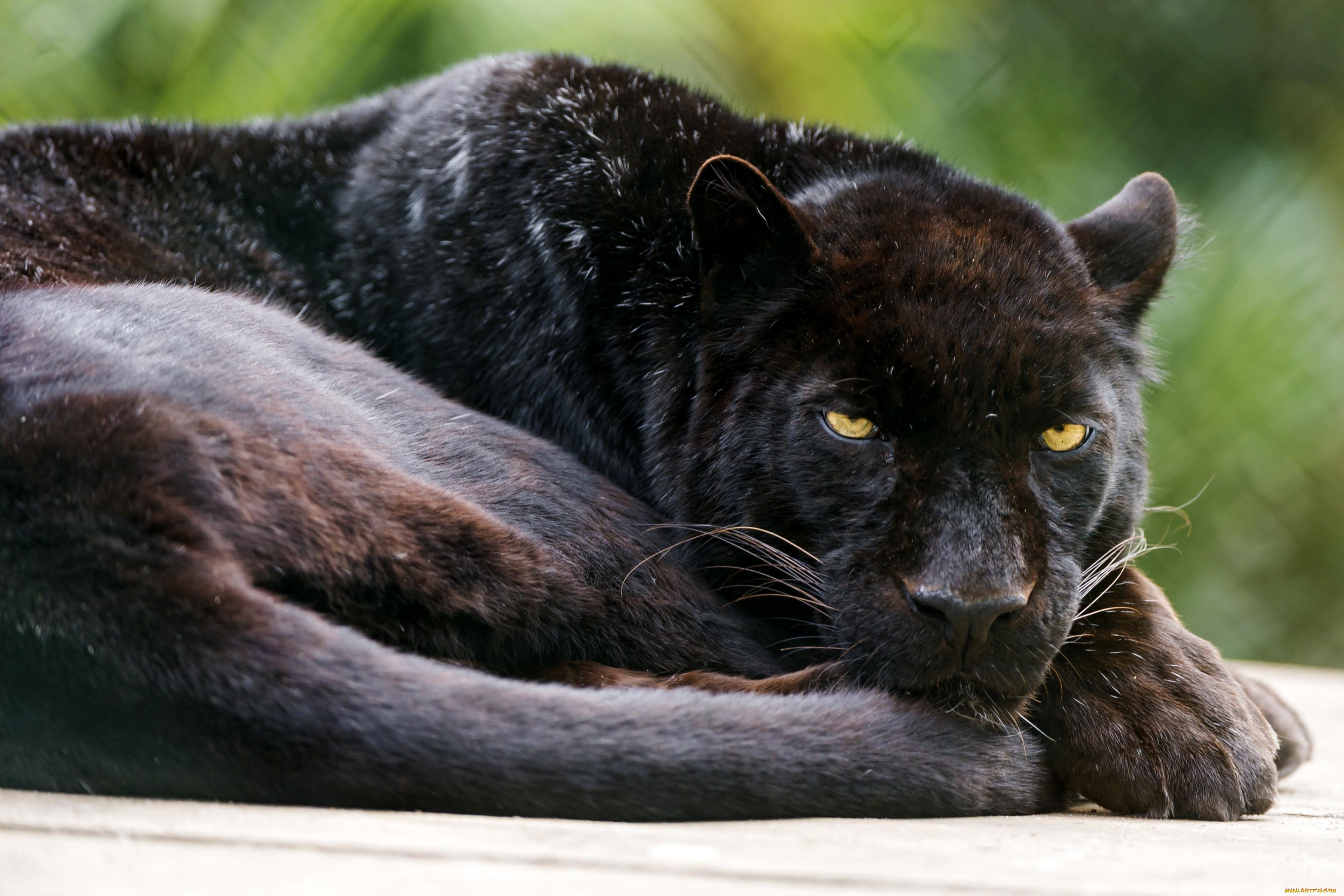 делала пума черная фото животное конечно же, нельзя